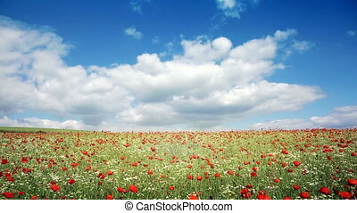 Poppies field and blue sky. - Poppies field in rays sun....