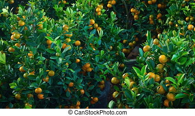 Many Tangerine Trees in Pots for Sale before Chinese New...