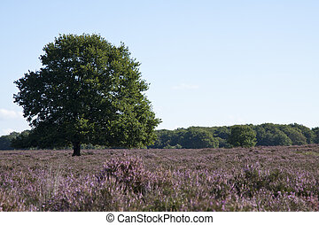 Field on the veluwe - Tree on the veluwe in the netherlands