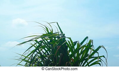 Top of a Pandan Tree Fluttering in a Gentle Breeze - Leaves...