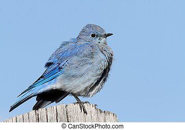 Male Mountain Bluebird (Sialia currucoides) in Grand Tetons...