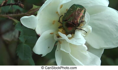 Cetonia aurata - Beetle Cetonia aurata on a flower of white...