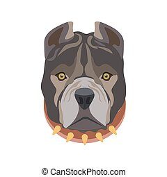 American Pit Bull breed puppy in dog collar - American Pit...