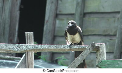 Magpie. - Magpie sitting on a wooden fence close-up.