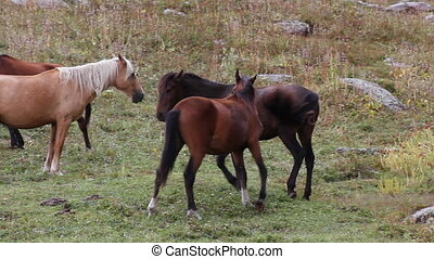 Horses 29 - Horses are grazed on a pasture