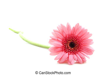 Pink gerbera - Beautiful pink gebera isolated on a white...