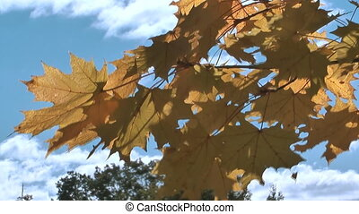Maple tree. - HD 1080 clip of maple leaves against the sky...