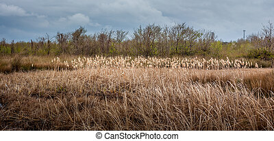 Pampas grass landscape in early spring, nature.
