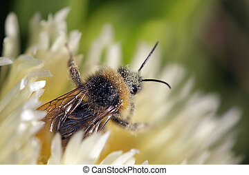 Bee covered in pollen. Carpobrotus edulis flower from a...
