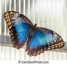 The Emperor butterfly (Apatura iris), Eurasian butterfly of...
