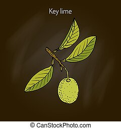Lime branch with leaves