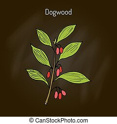 Branch of dogwood plant - Branch of dogwood plant with...