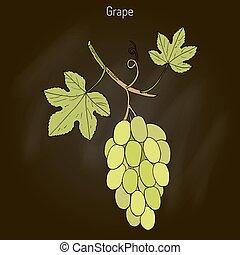 Common grape vine - Vitis vinifera, common grape vine. Hand...