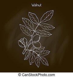 Walnut branch Juglans regia , or Persian walnut, English...