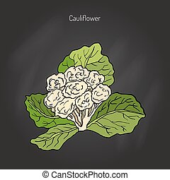 Cauliflower with leaves. Hand drawn botanical vector...