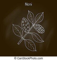Morinda or Noni - Noni Morinda citrifolia , or great...