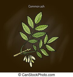 Common Ash Tree Branch with Leaves. Botanical vector...