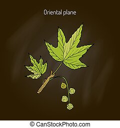 Occidental plane tree - Platanus orientalis, or oriental...