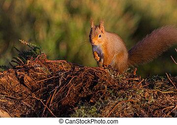 Red Squirrel (sciurus vulgaris) sat on the ground,...