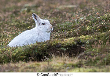Close up of Mountain Hare (Lepus timidus) in winter white...