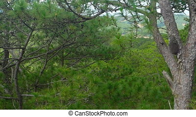 Upper Limbs and Branches of Pine Trees Passing By. - Upper...