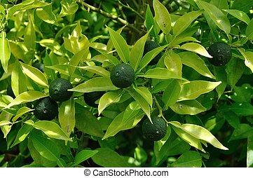 Botanical orangery