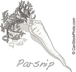 Fresh parsnip roots - Fresh parsnip root on a white...
