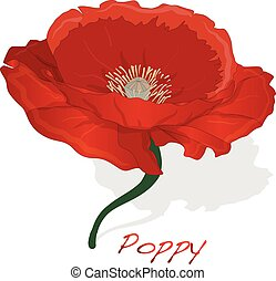 Red Poppy flower isolated on white background