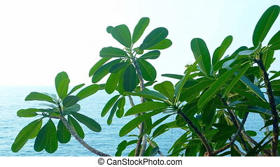 Plumeria Plant Leaning out over a Tropical Seascape. Video...