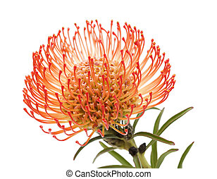 red protea isolated - red pincushion protea flower isolated...