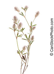 flora of Gran Canaria - Trifolium arvense, hare foot clover,...