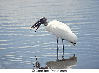 Wood Stork with a fish in its beak