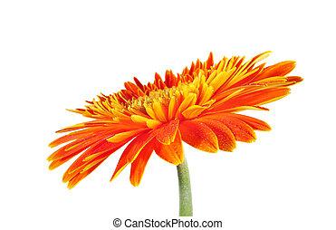 gerbera daisy close up macro texture