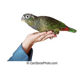 hand holding a pionus parrot - female hand holding a tamed...