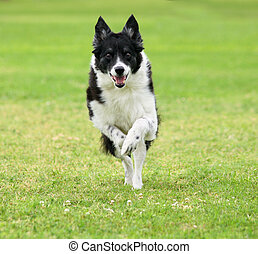 Come here - Border Collie running towards camera