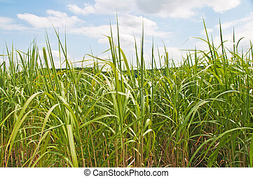 The renewable resource switchgrass for heating and...