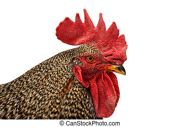 Rooster isolated