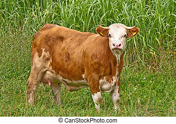 cow with switchgrass