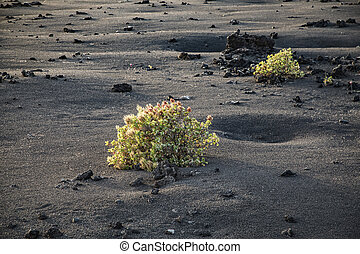 bush grows on volcanic lapilli eart in Timanfaya national...