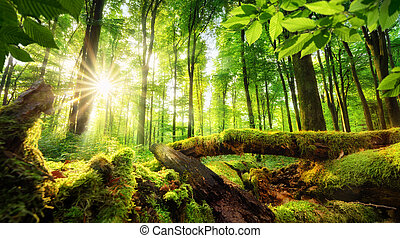 Forest scenery with beautiful sun rays - Green forest...