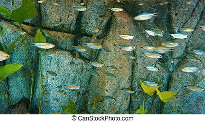 Head and Tail Light Tetra (Hemigrammus ocellifer). Flock in...