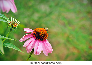 Flower of echinacea and a bee