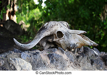 Cow Skull on a Rock - Old skull of a cow close-up on a rock