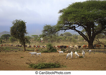 A large herd of cows in Kenya