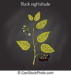 European black nightshade Solanum nigrum or duscle, garden...