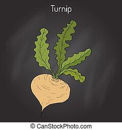 Turnip vegetable vector - Turnip vegetable, hand drawn...