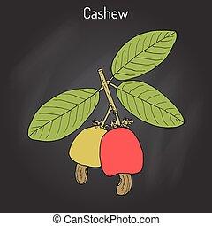 Cashew Anacardium occidentale nuts. Hand drawn botanical...
