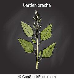 Garden orache Atriplex hortensis , or red arrach, French...