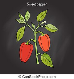Sweet or bell pepper Capsicum annuum . Hand drawn botanical...