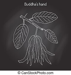 Fingered citron , Citrus medica , or Buddha s hand - exotic...
